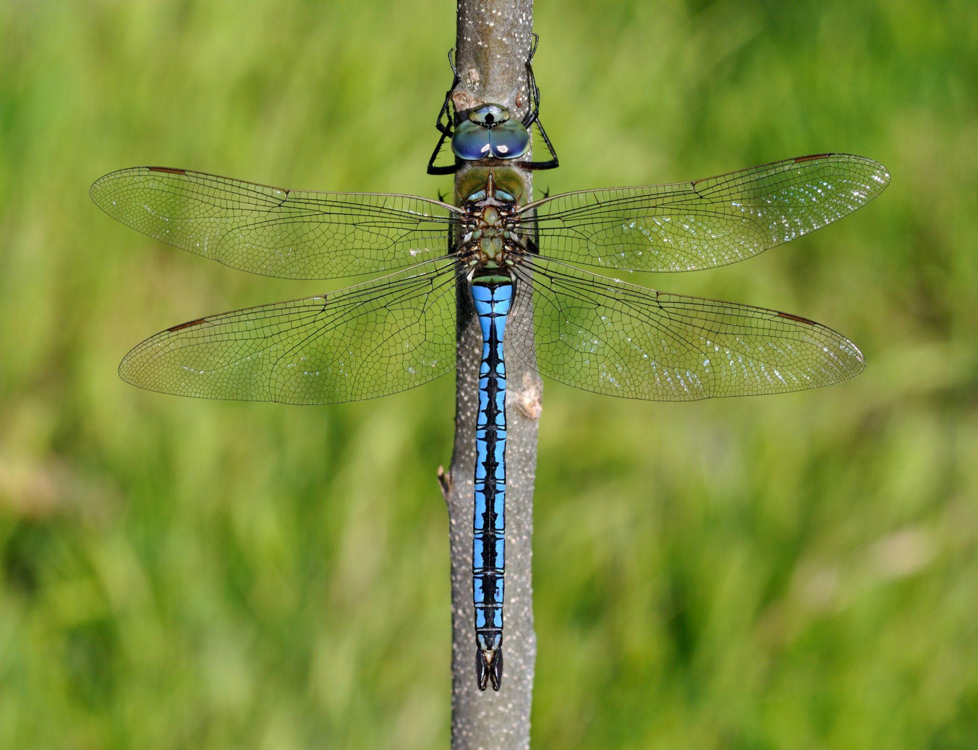 Blue Emperor, Emperor Dragonfly