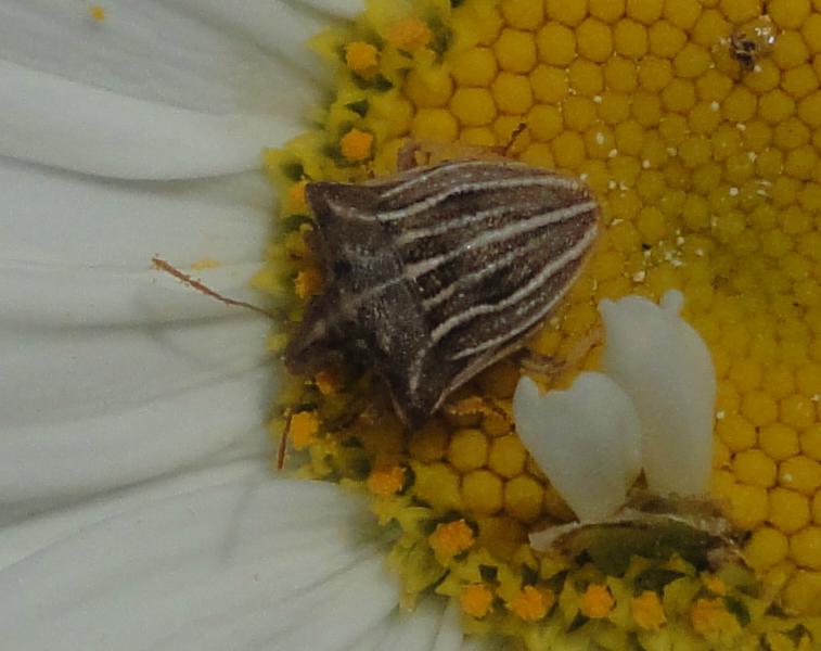 gândac mic maro cu dungi albe