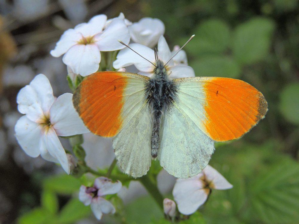 Orange-tip mascul