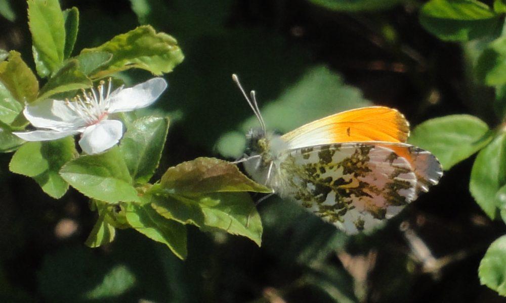 Orange-tip mascul profil