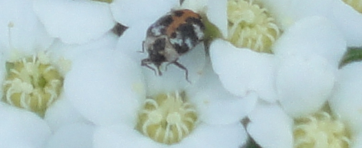 Common Carpet Beetle
