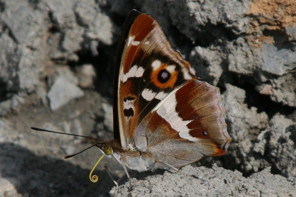 Purple Emperor mascul lateral