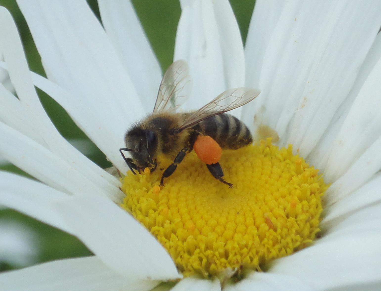 European Honey Bee, Albina de miere europeană.