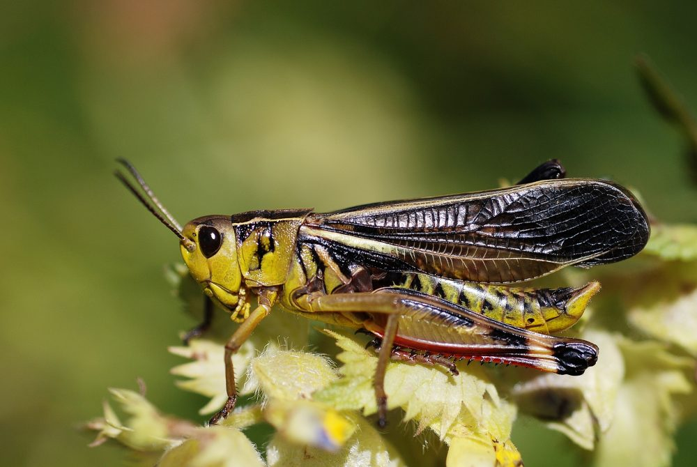 Large Banded Grasshopper