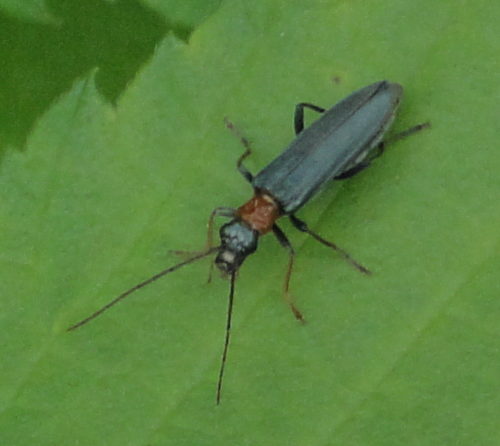 False Blister Beetle