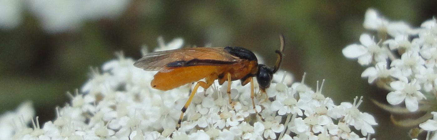 sawfly portocaliu cu negru, Alte insecte (sawflies, hoverflies, hopperi, etc) din România
