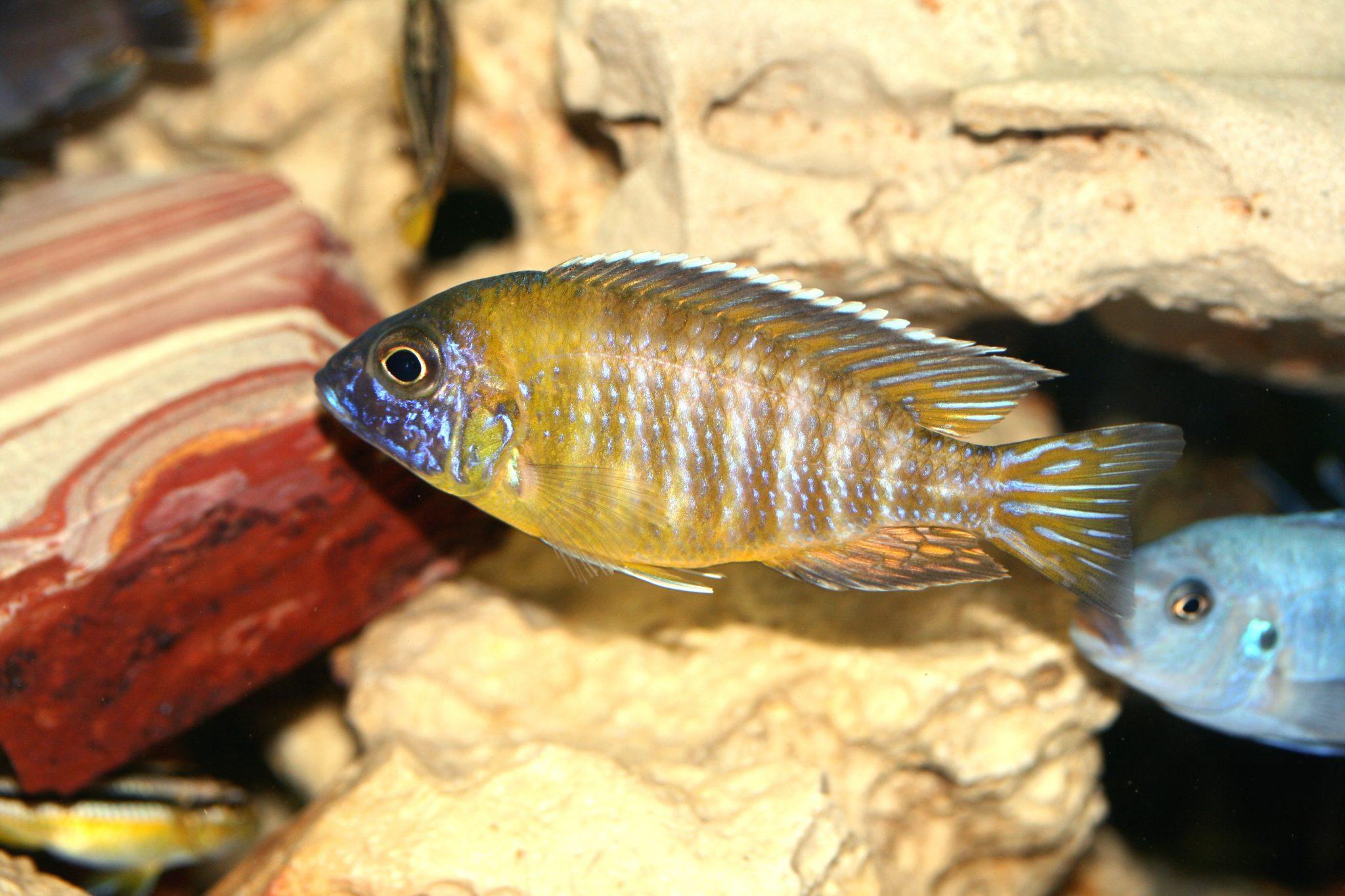 Nkhomo-benga Peacock