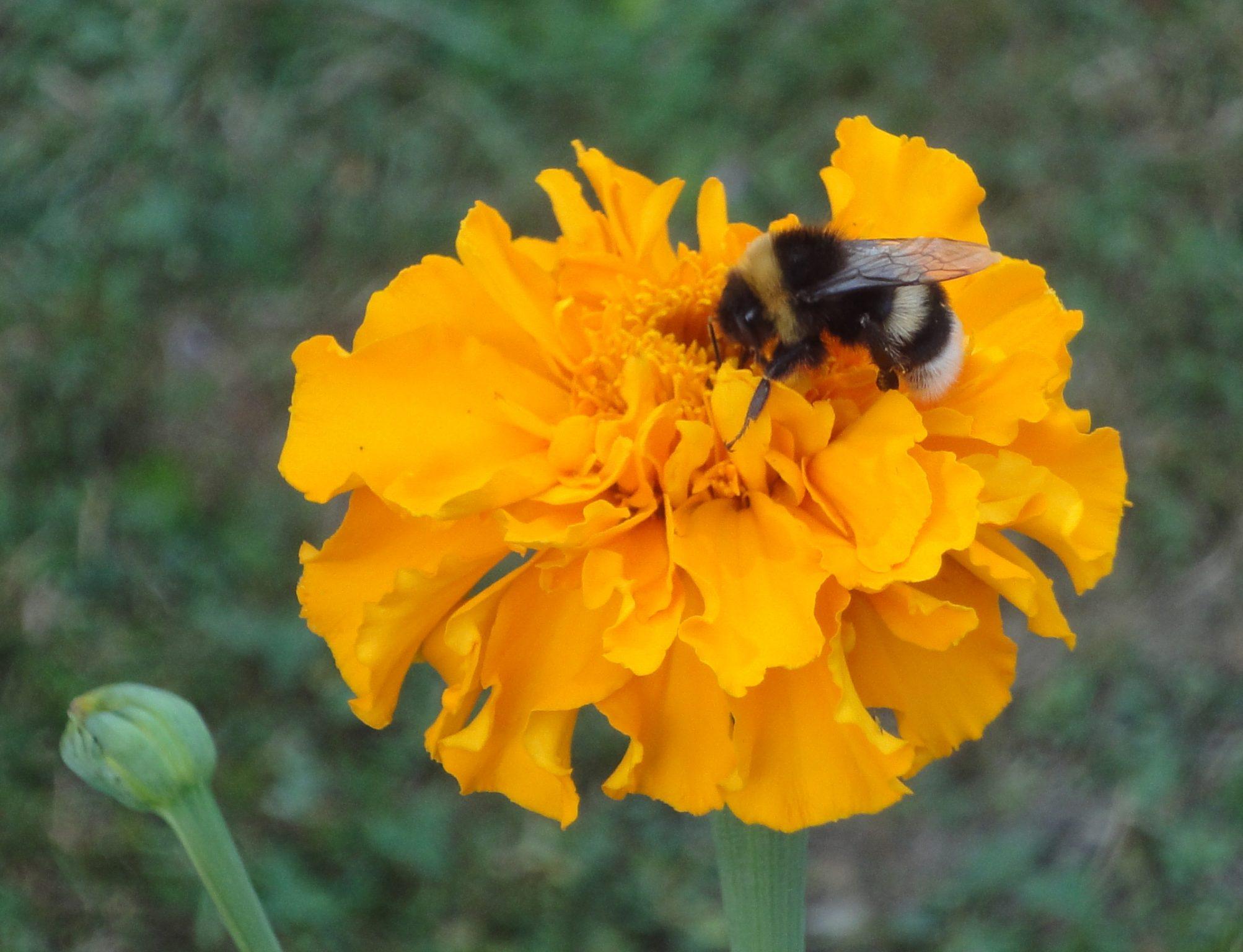 Albine din România