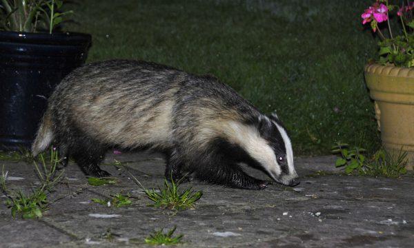 Meles meles, Eurasian Badger, Badger, European Badger