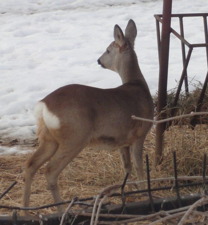 European Roe Deer, European Roe, Roe Deer, Western Roe Deer femelă
