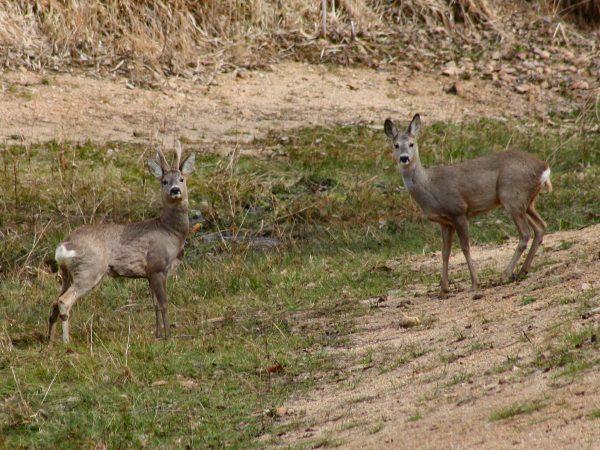 Capreolus capreolus, European Roe Deer, European Roe, Roe Deer, Western Roe Deer