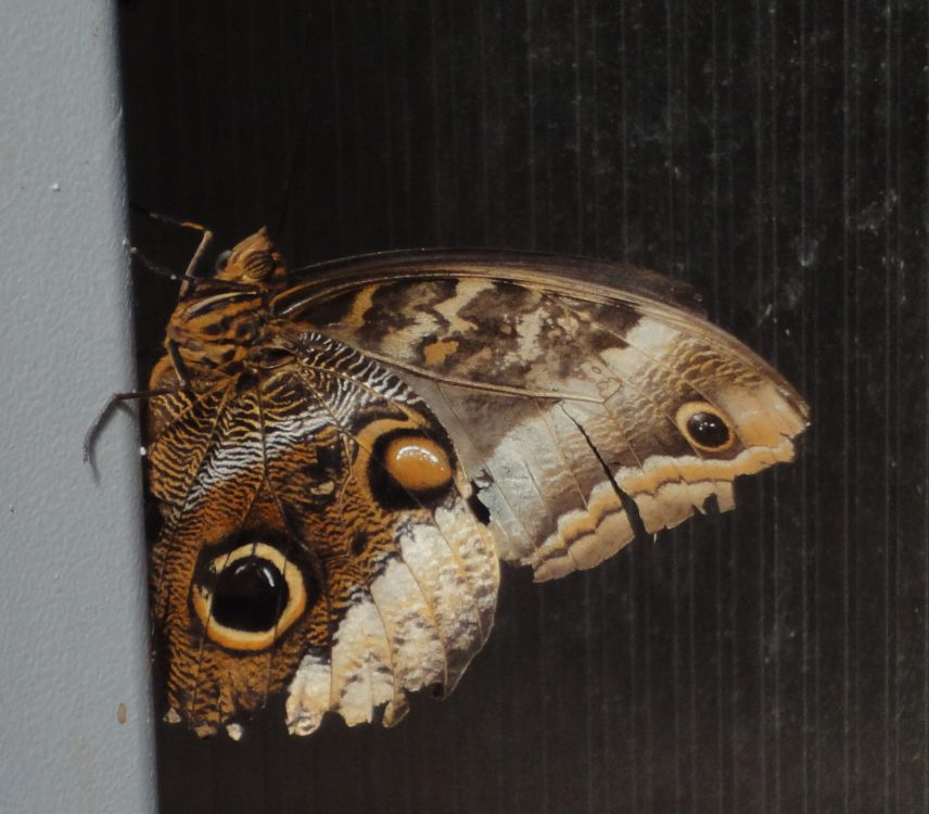 Atreus Owl, Banded Owl-Butterfly