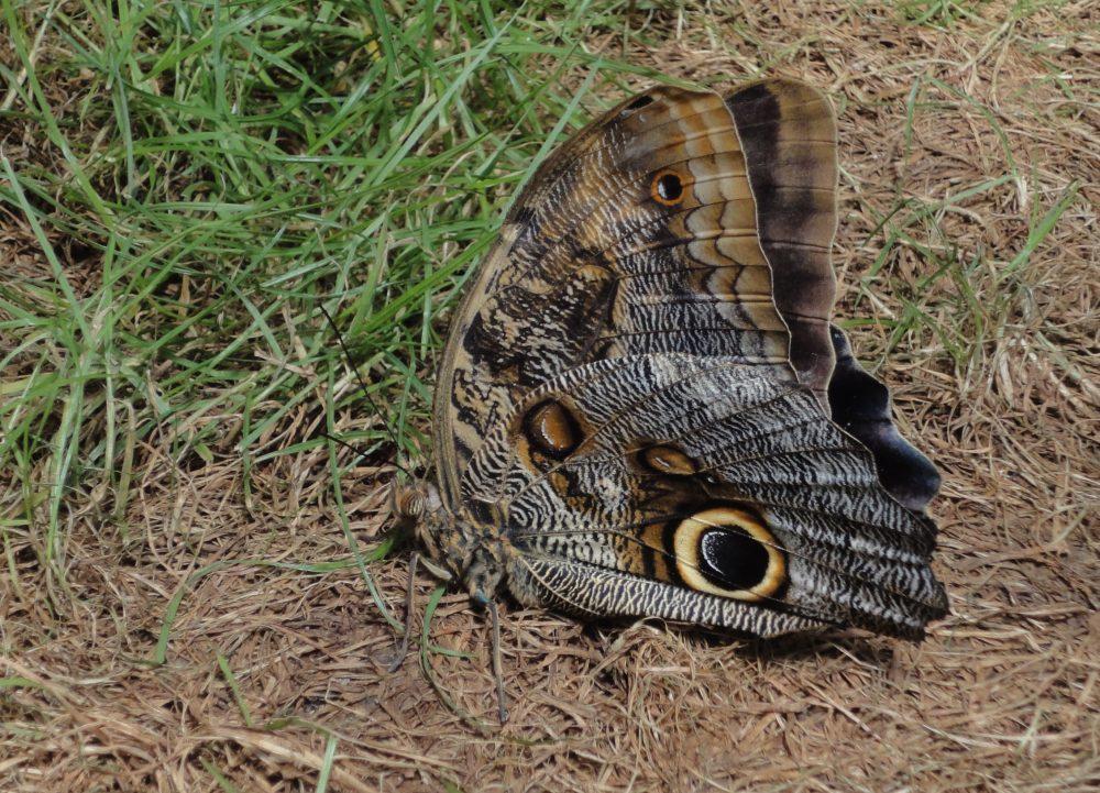 Fluturele Cap de Bufniţă, Forest Giant Owl