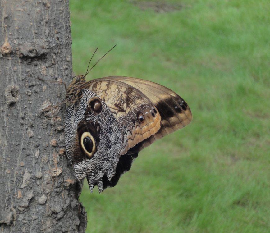 Owl Butterfly, Pale Owl Butterfly