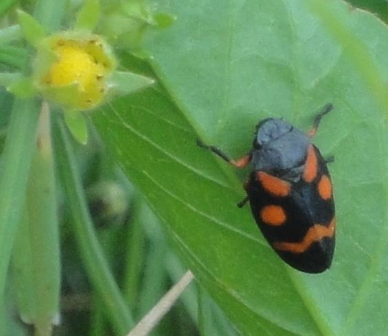 insectă neagră cu pete roşii