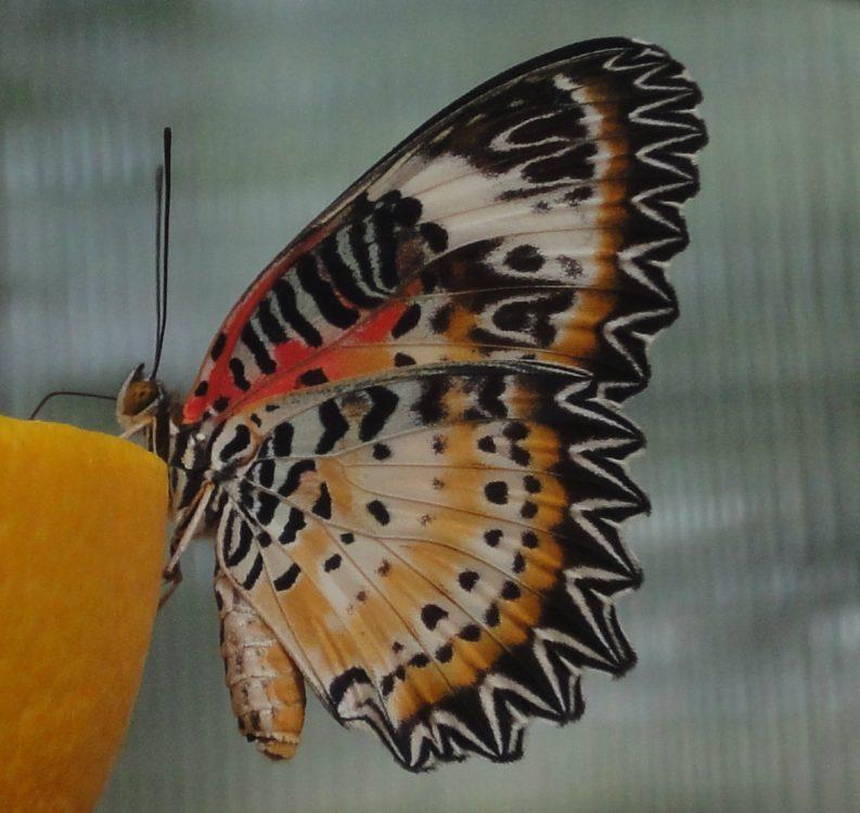 Roşcatul cu aripi dantelate, Red Lacewing