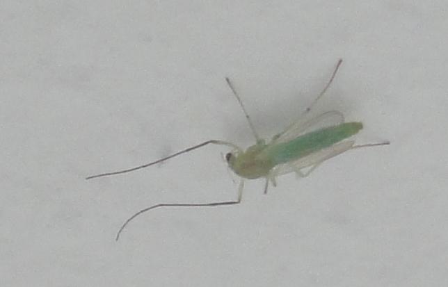 Chironomidae verde