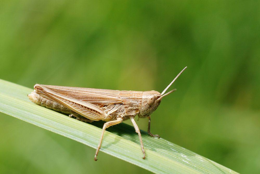 Lesser Marsh Grasshopper femelă