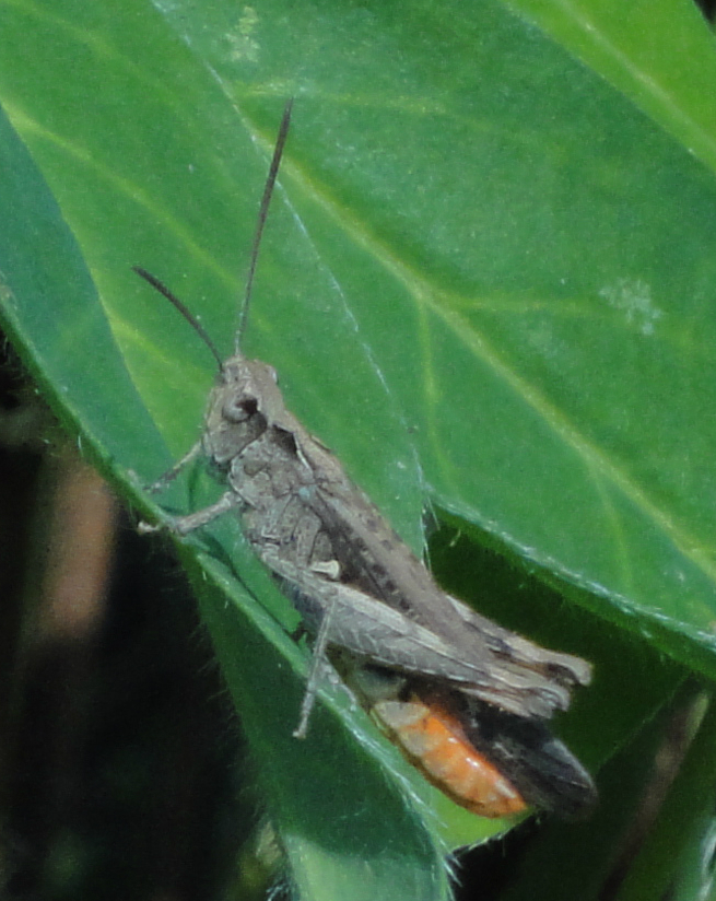 Common Field Grasshopper, Field Grasshopper
