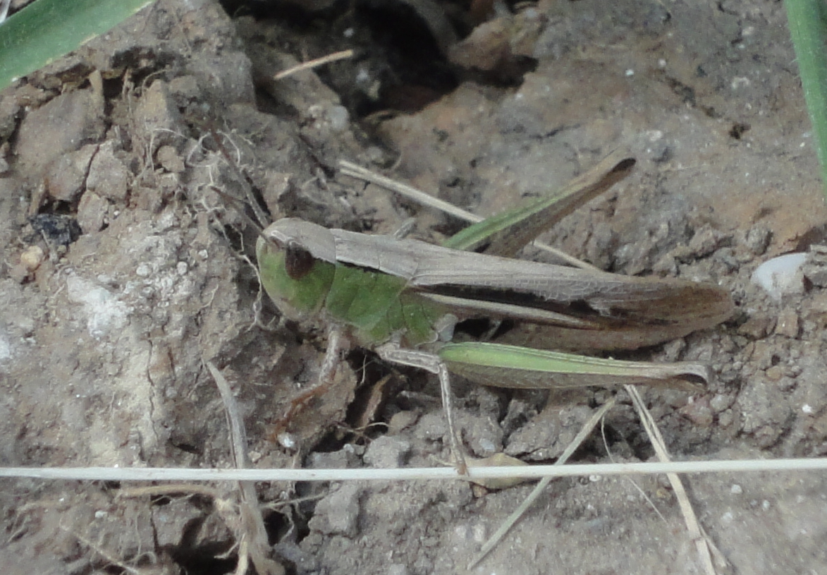 Two-coloured Grasshopper