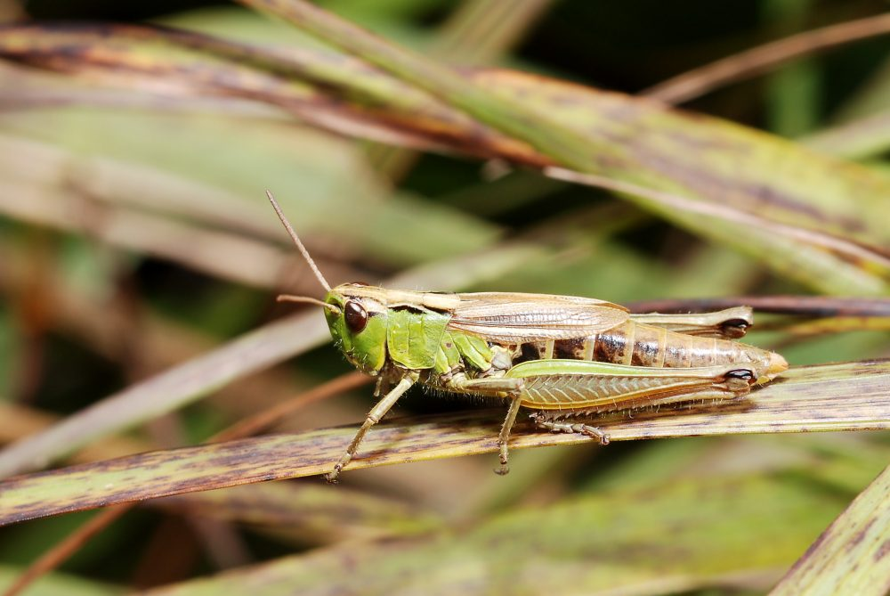 Water-meadow Grasshopper femelă