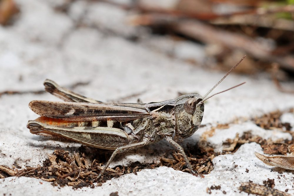 Penumbra Grasshopper, Heath Grasshopper