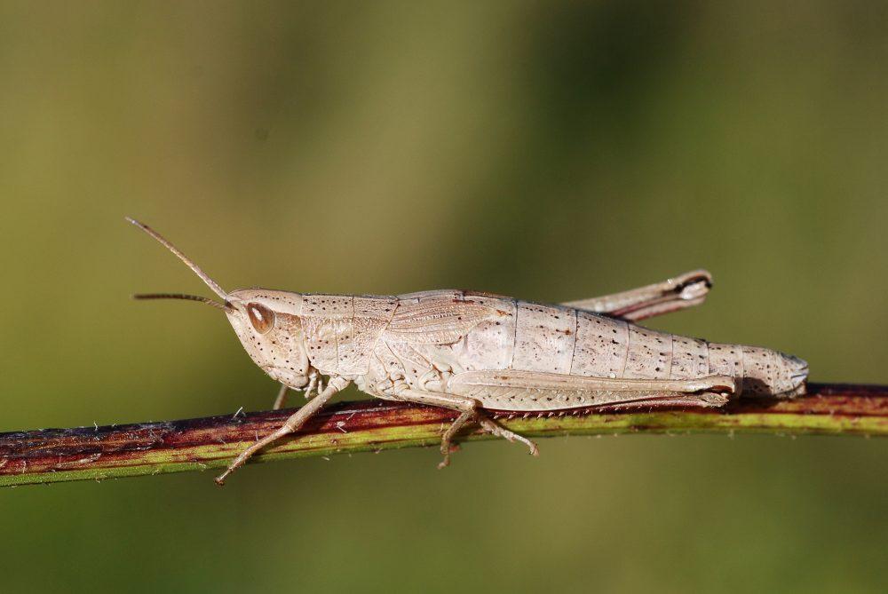 Gold Grasshopper femelă