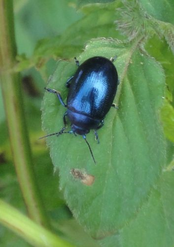 Blue Mint Beetle