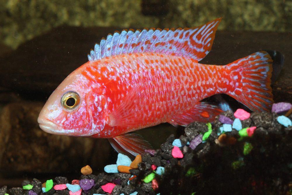 Aulonocara sp., Firefish