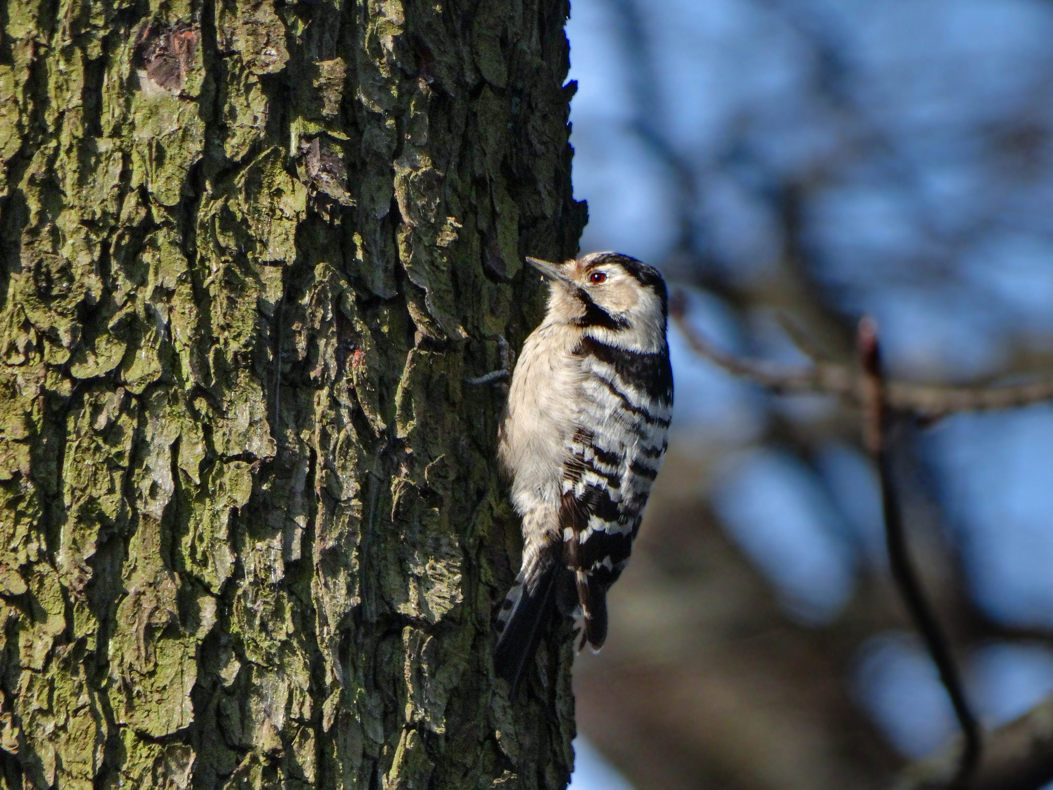 Dendrocopos minor, Dryobates minor, Lesser Spotted Woodpecker femelă