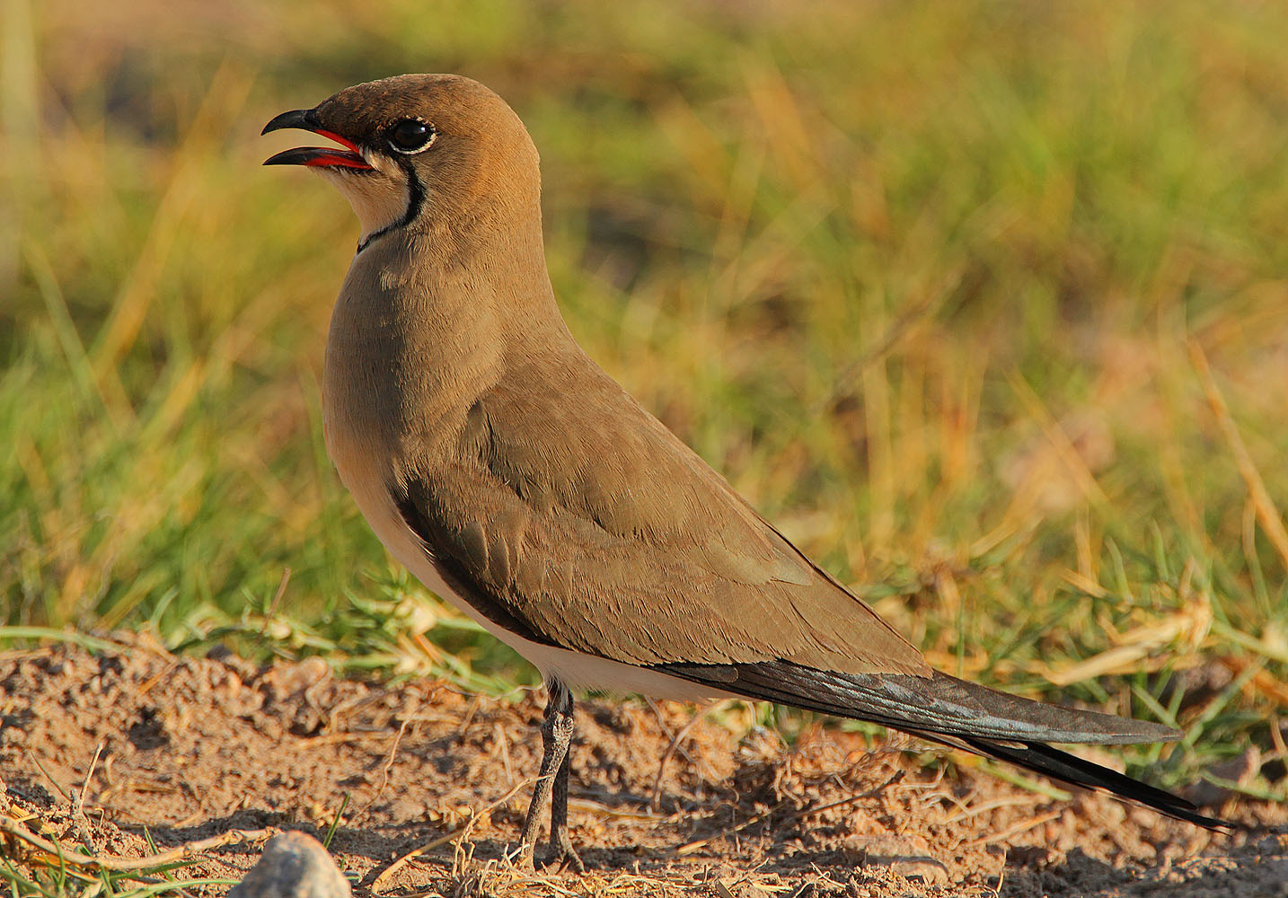 Glareola pratincola, Collared Pratincole, Common Pratincole