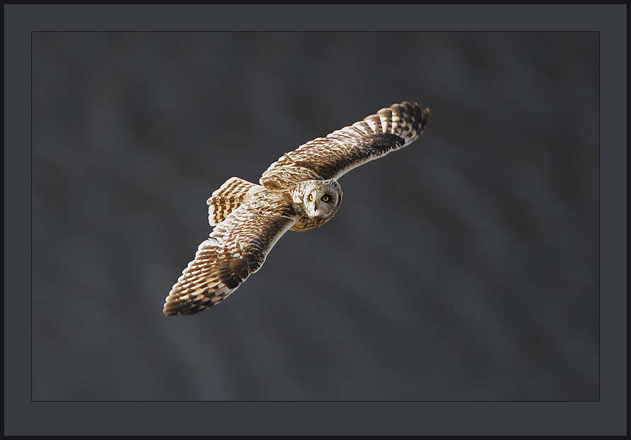 Asio flammeus, Short-eared Owl