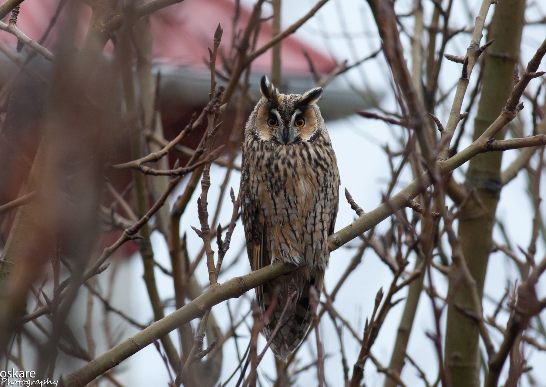 Asio otus, Northern Long-eared Owl