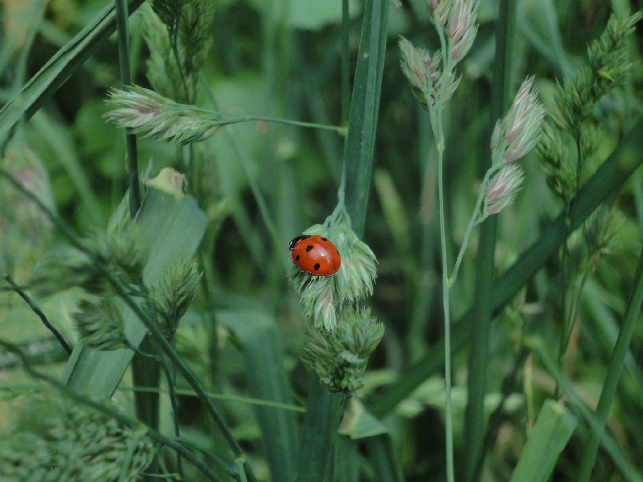 Seven-spot Ladybird, buburuză roşie cu 7 pete negre