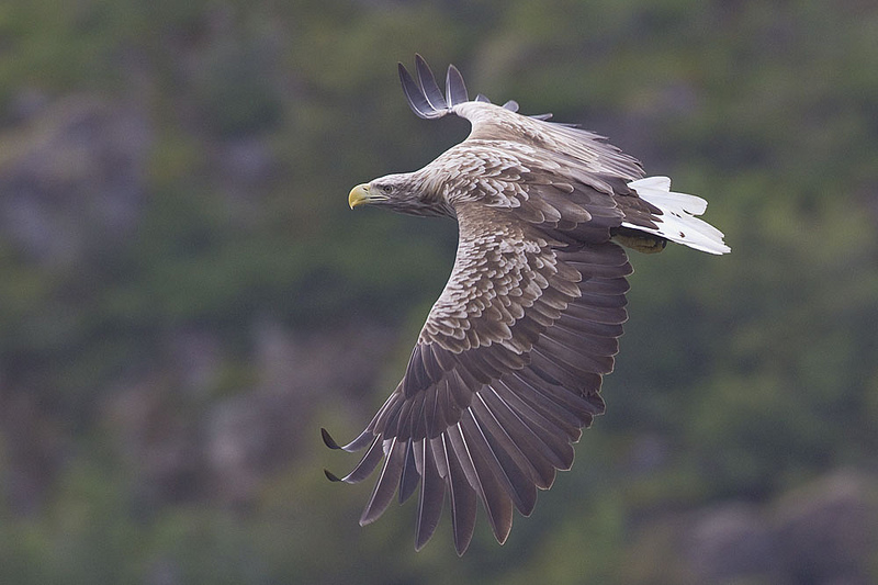 Haliaeetus albicilla, White-tailed Sea-eagle, Grey Sea Eagle