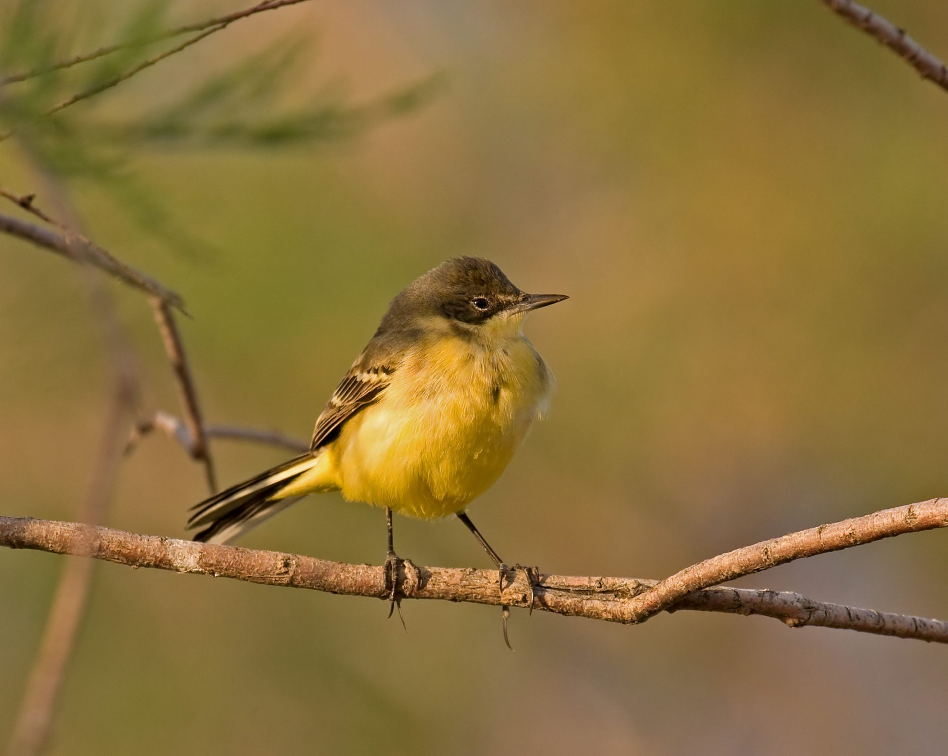 Motacilla flava feldegg, Black-headed Wagtail