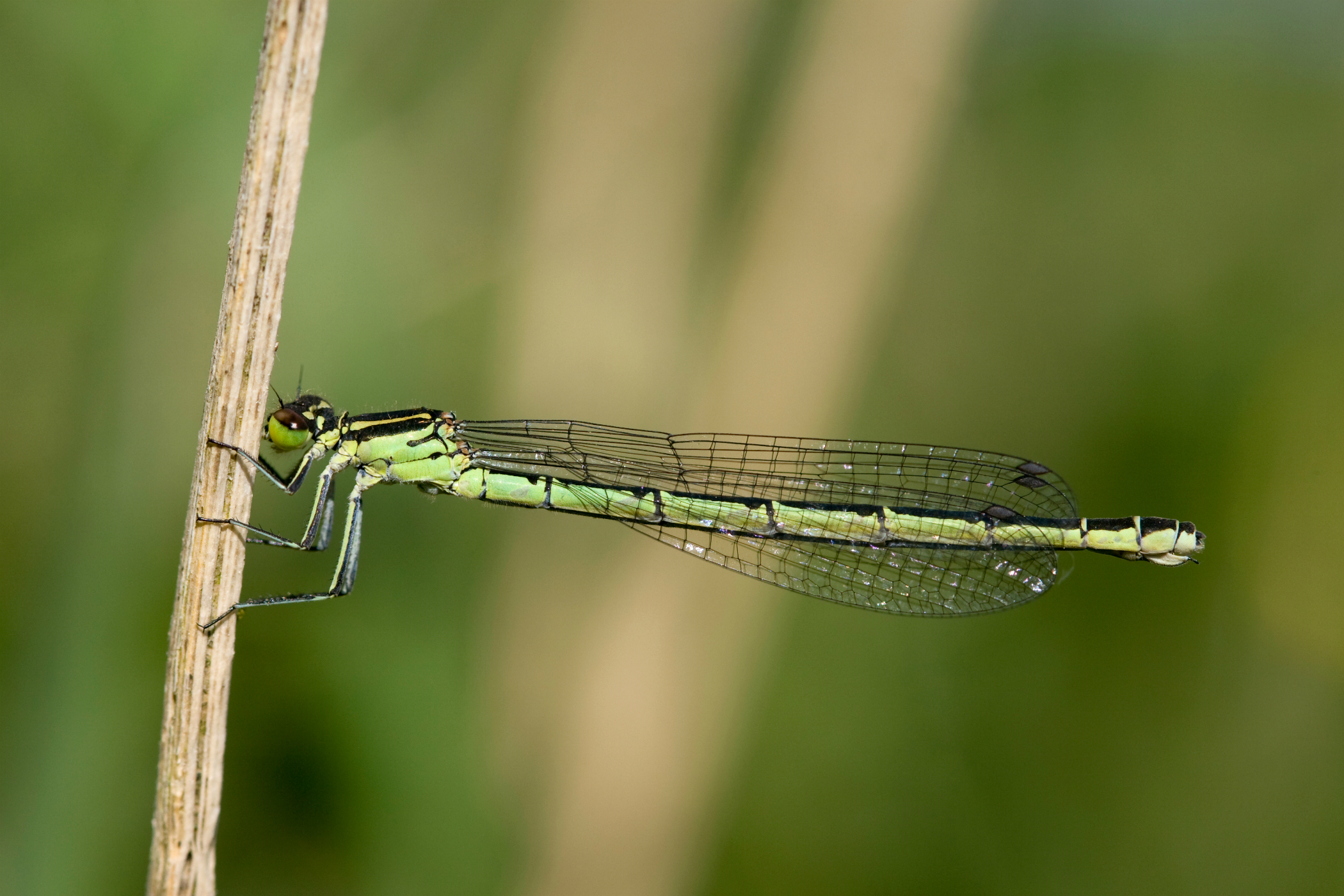 Northern Damselfly, Spearhead Bluet