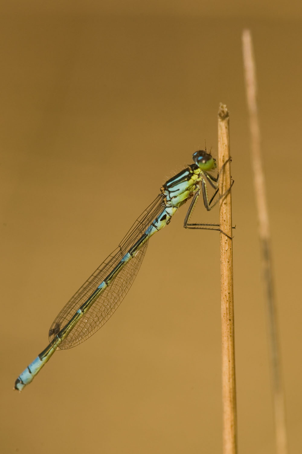Irish Damselfly