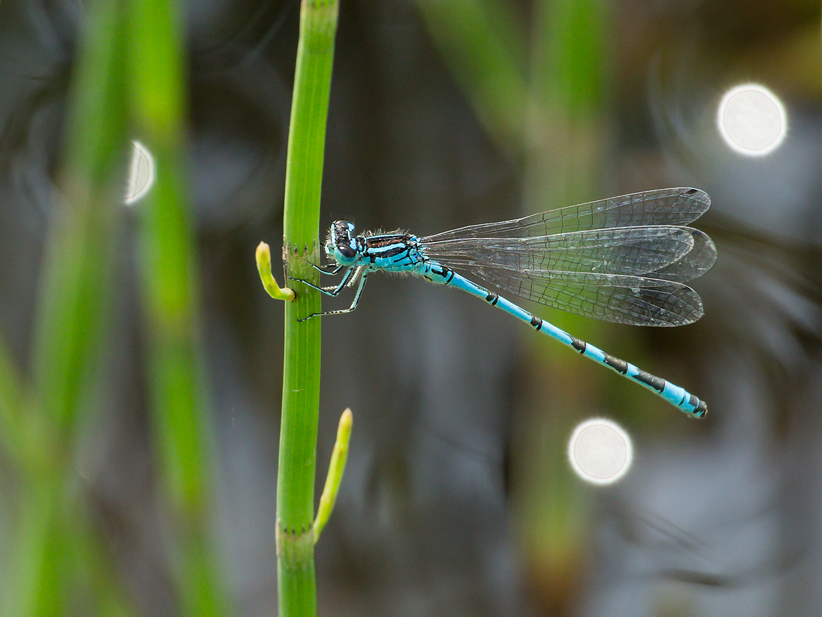 Ornate Bluet