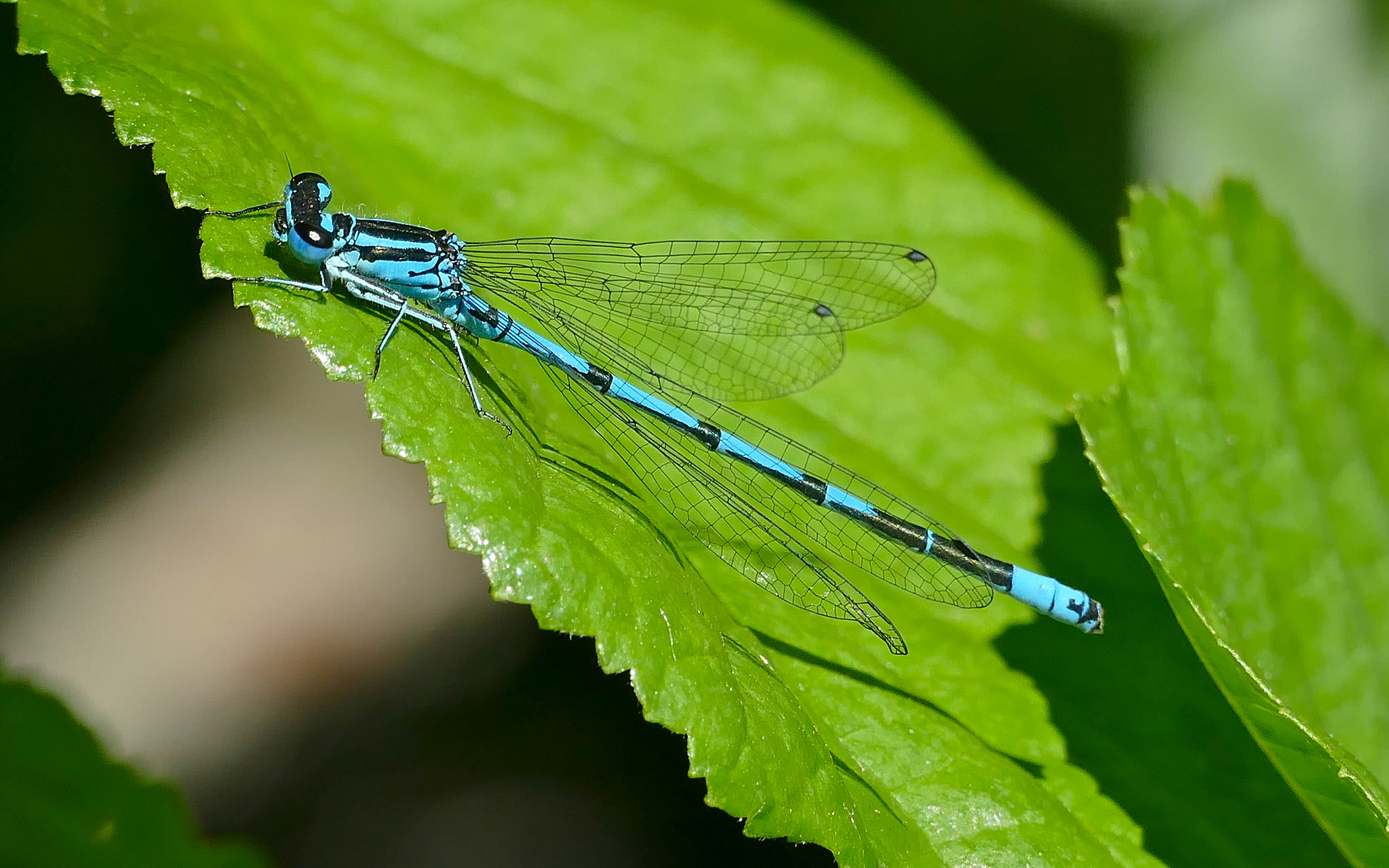 Azure Damselfly, Azure Bluet