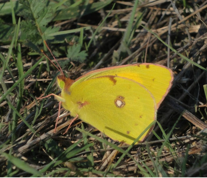 Clouded Yellow profil