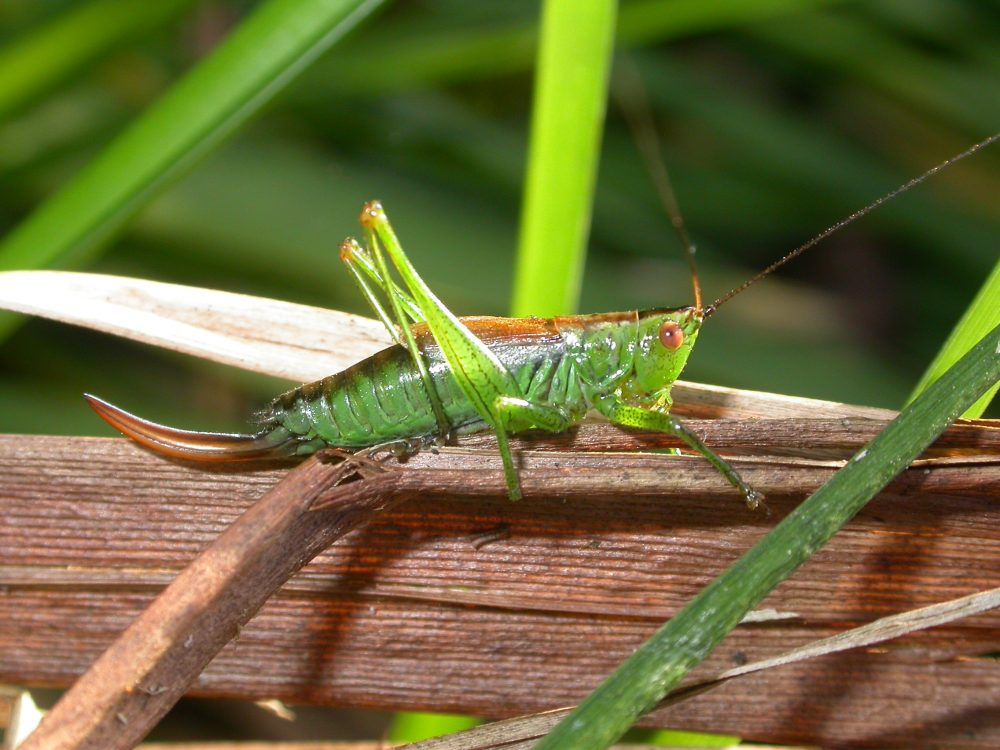 Short-winged Conehead femelă