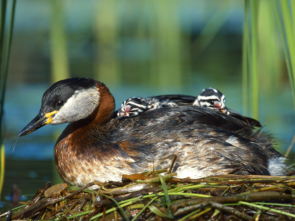 Podiceps grisegena, Red-necked Grebe