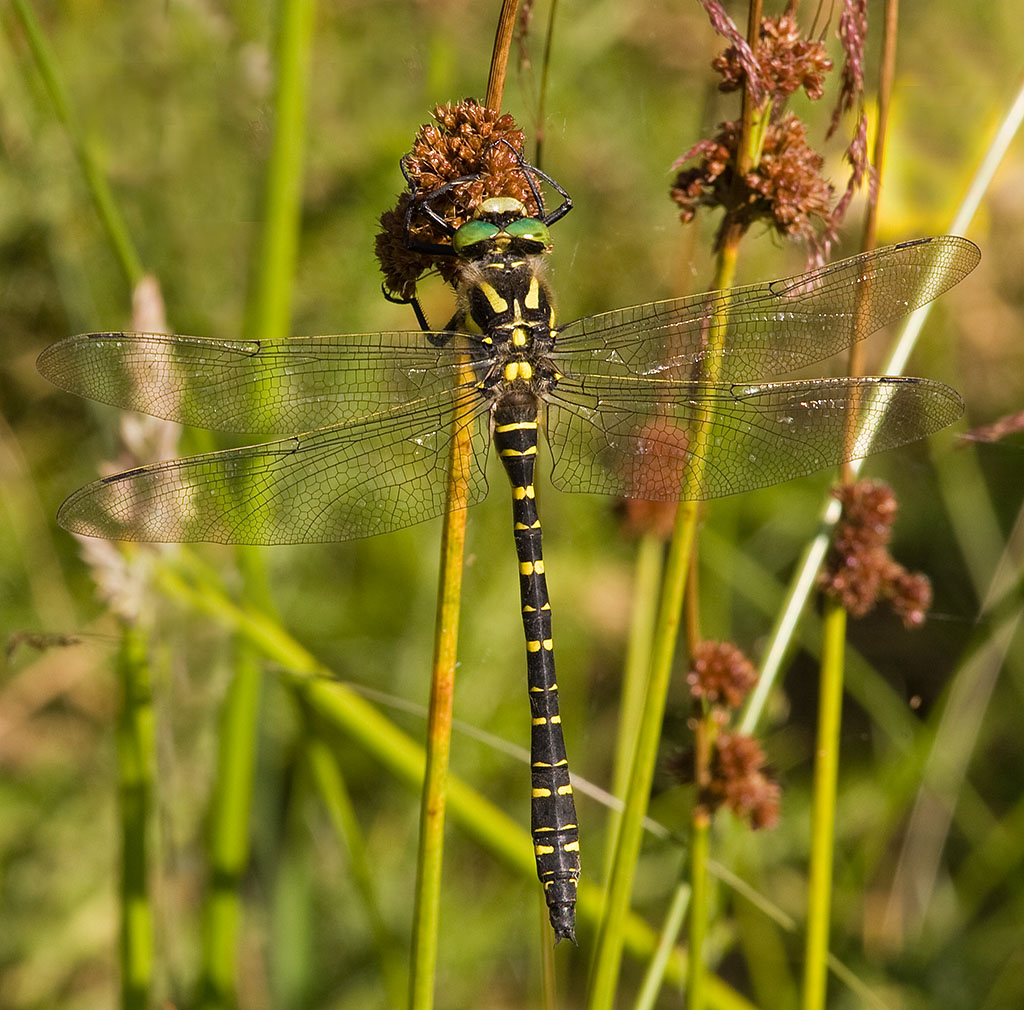 Gold-ringed Dragonfly femelă