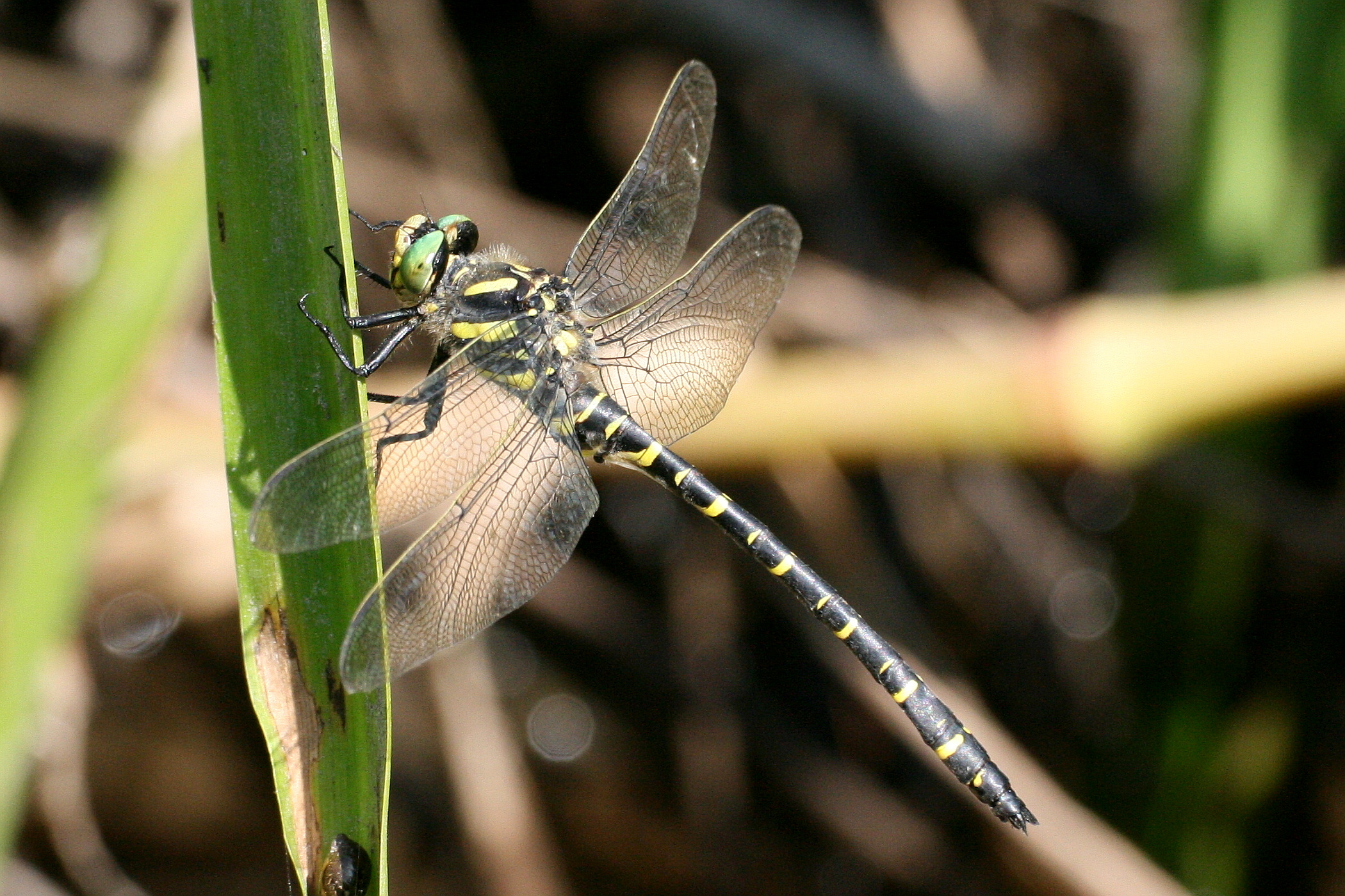 Gold-ringed Dragonfly mascul