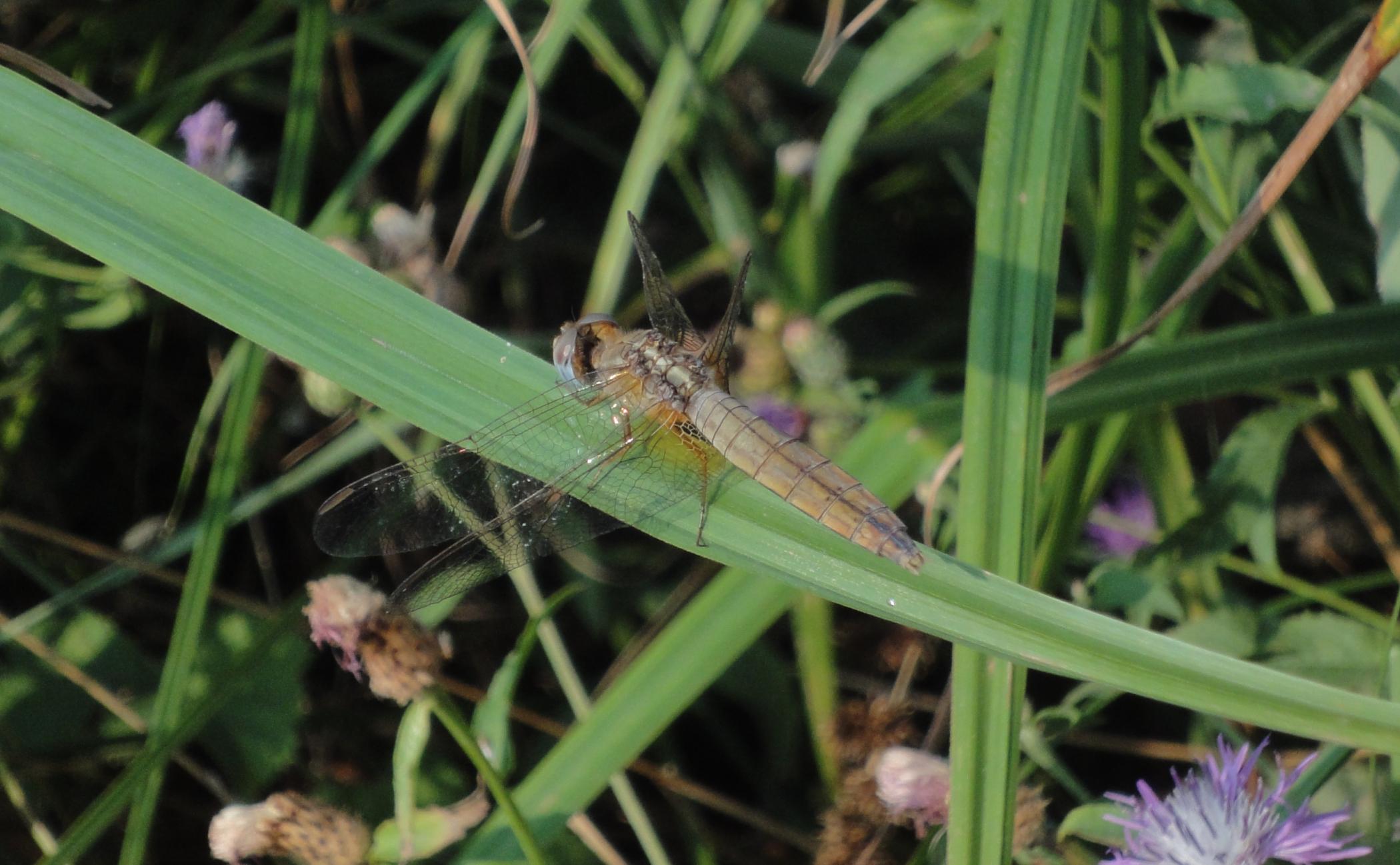 Broad Scarlet, Common Scarlet-darter, Scarlet Darter, Scarlet Dragonfly
