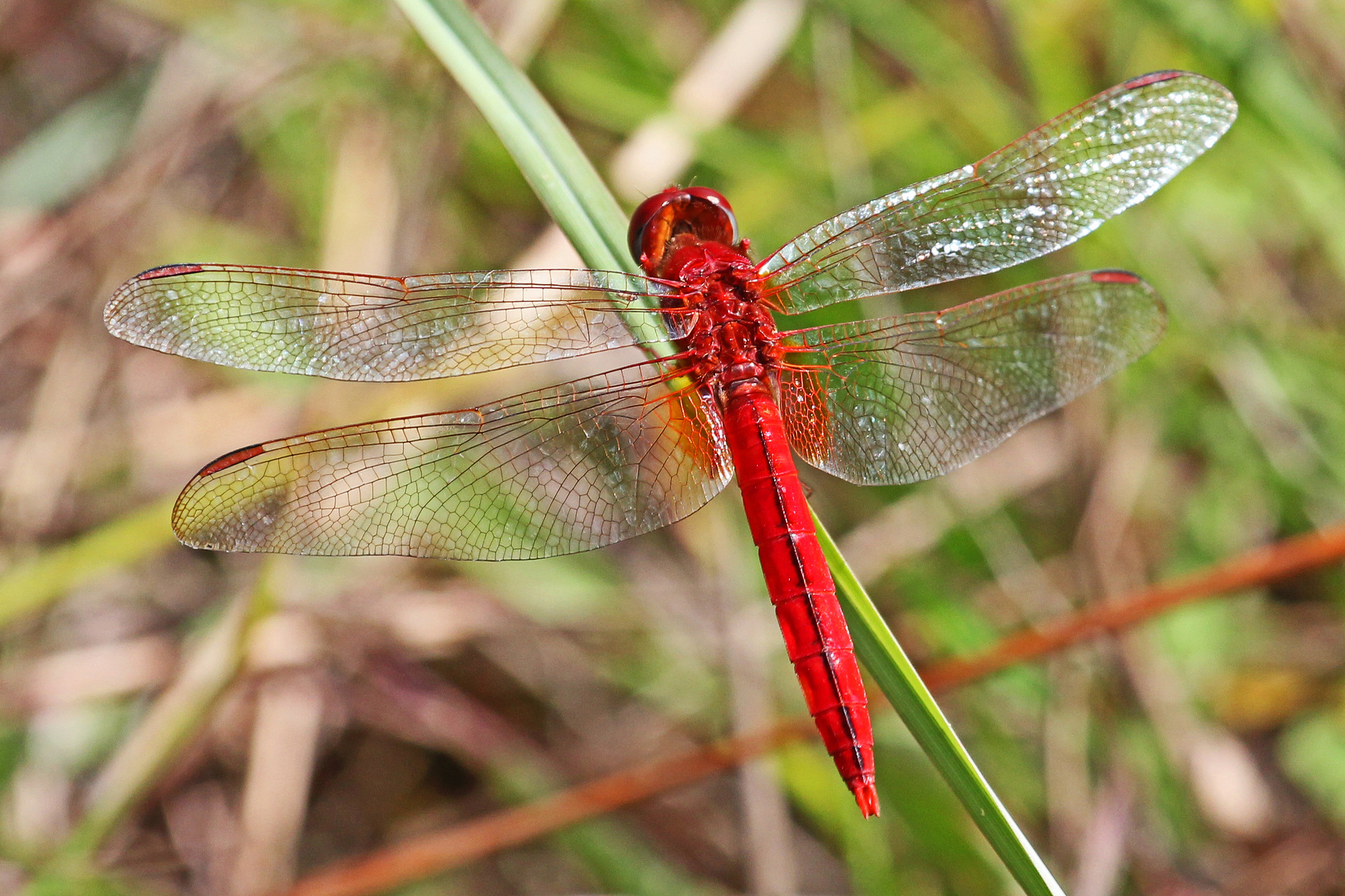 Scarlet Skimmer, Oriental Scarlet
