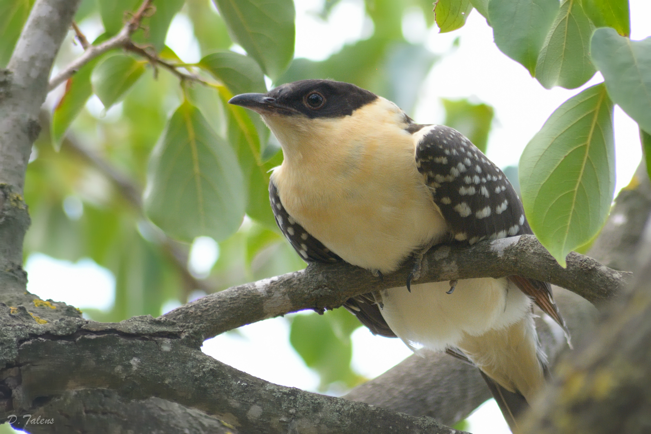 Clamator glandarius, Great Spotted Cuckoo
