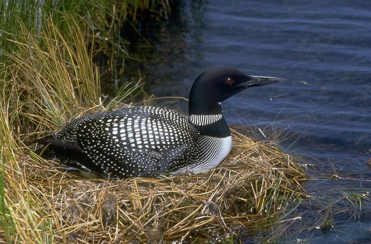 Gavia immer, Common Loon, Great Northern Diver, Great Northern Loon