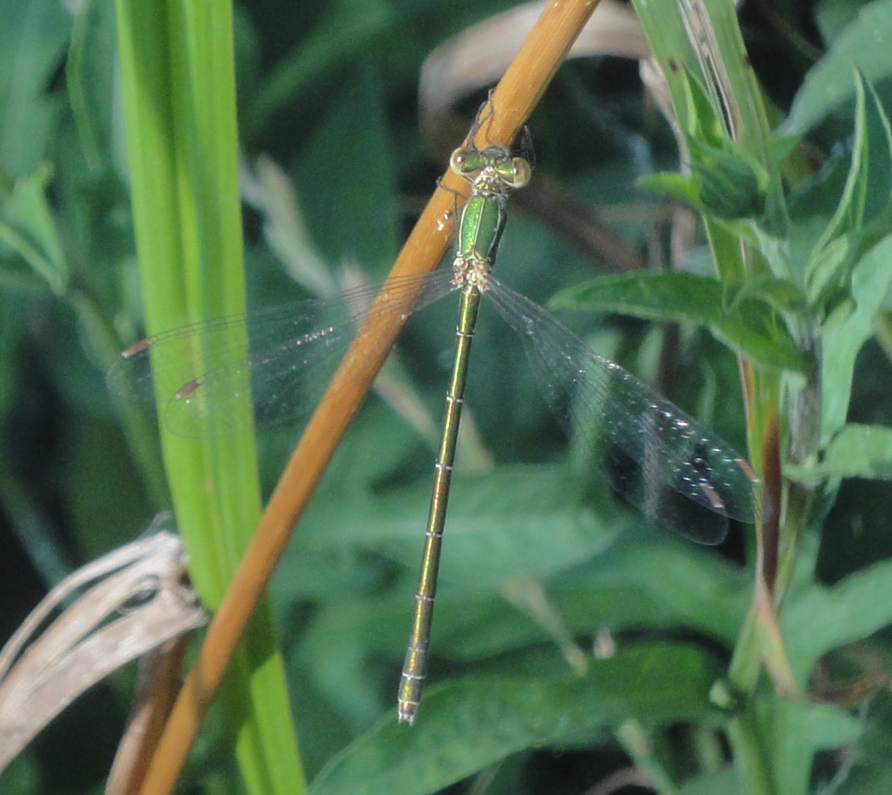 Chalcolestes parvidens, Eastern Willow Spreadwing